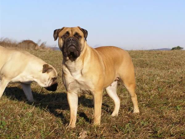 N.o.chaos Bullmastiff Our dogs